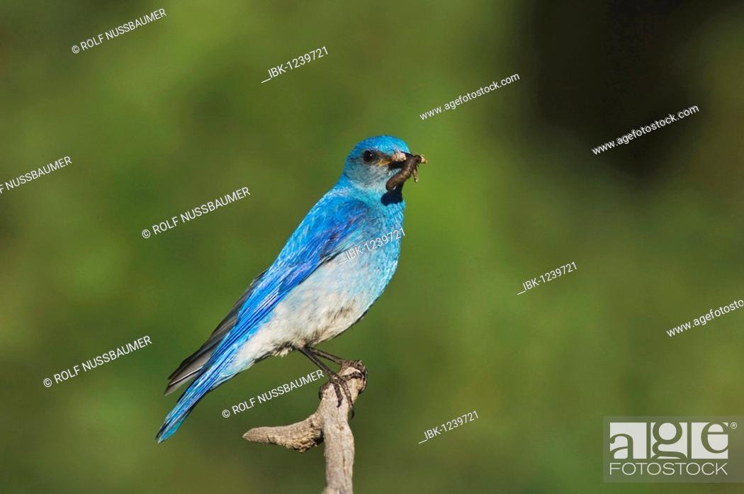 Stock Photo: Mountain Bluebird (Sialia currucoides), male with prey, Rocky Mountain National Park, Colorado, USA.