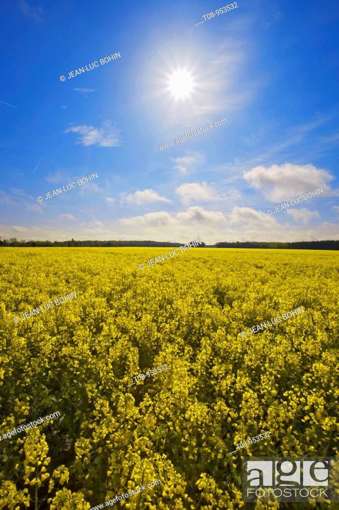 Stock Photo: france,île de france : champ de colza sous le soleil.