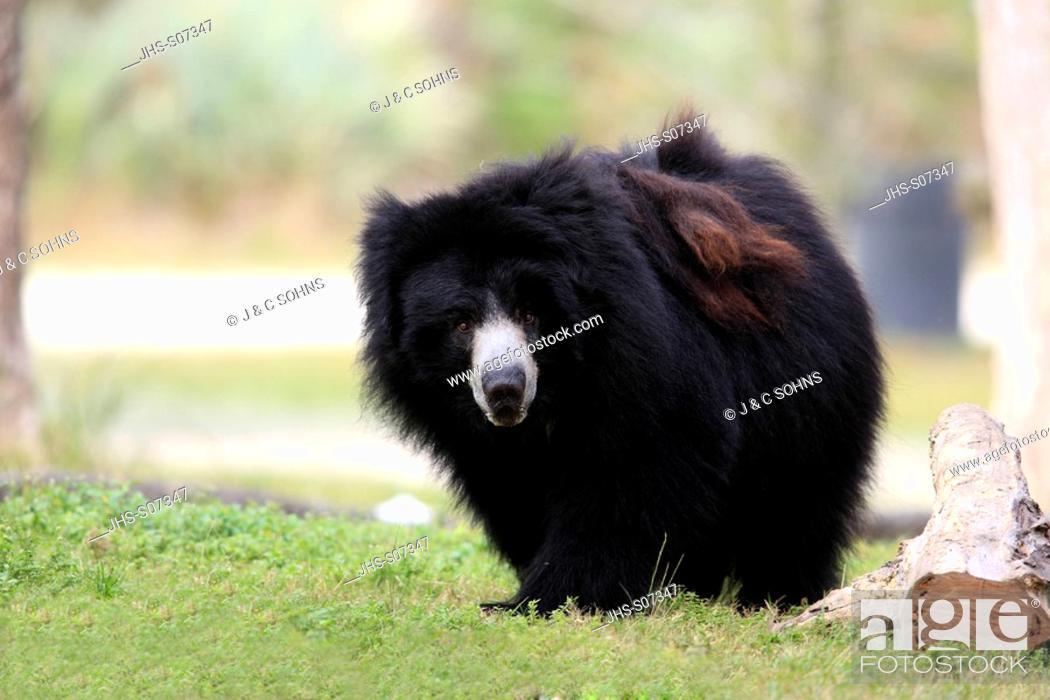 Stock Photo: Sloth Bear, Melursus ursinus, Asia, adult male.