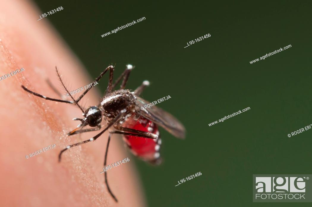 Stock Photo: Female of the Asian Tiger Mosquito Aedes albopictus biting on human skin and bloodfeeding to generate a new egg batch  Invasive.