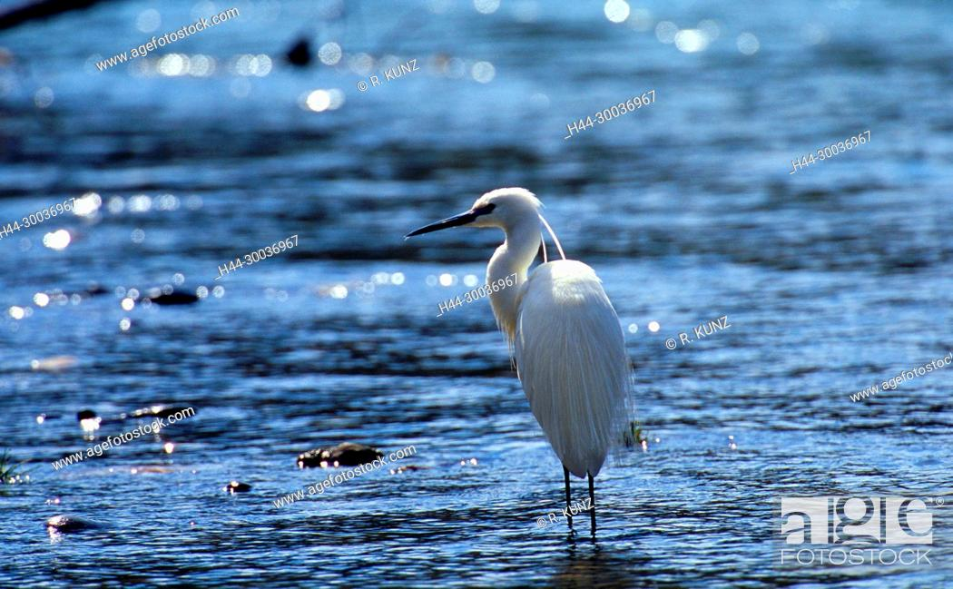 Stock Photo: Little Egret, Egretta garzetta, Ardeidae, Reiher, breeding plumage, bird, animal, Rhine river, Untervaz, Canton of Graubünden, Switzerland.
