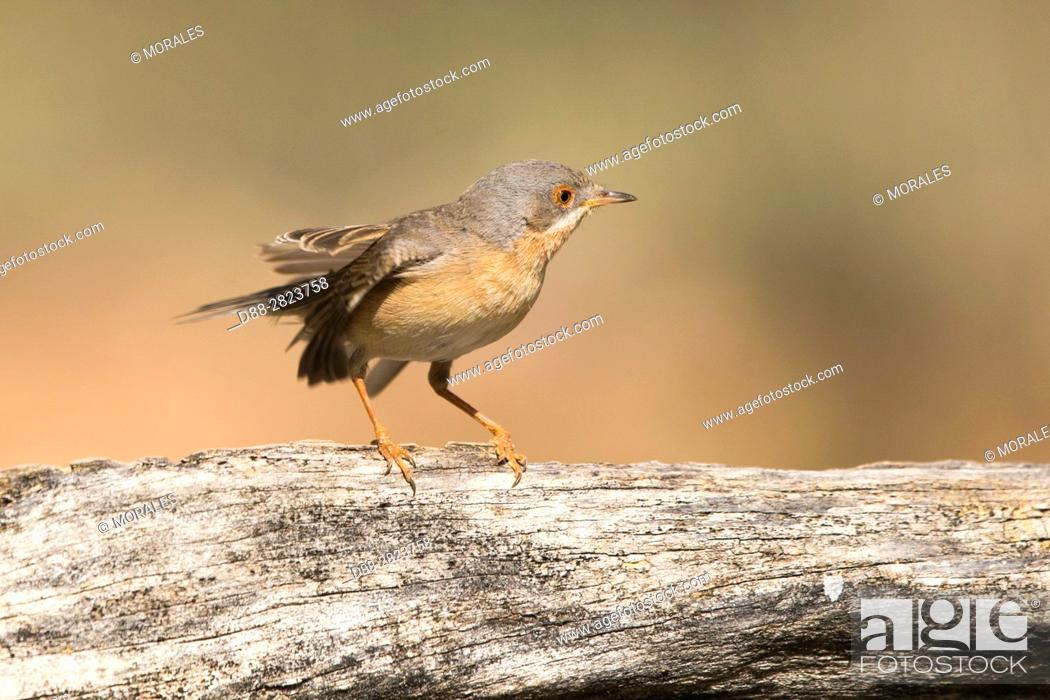 Stock Photo: Europe, Spain, Catalonia, Subalpine warbler (Sylvia cantillans), male.