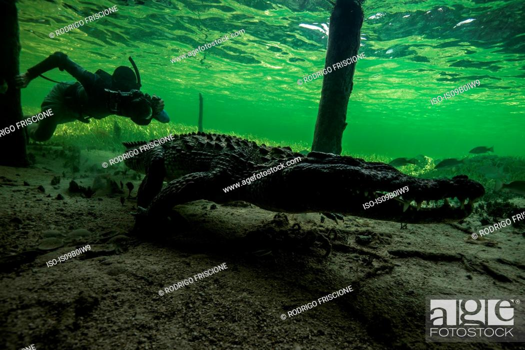 Stock Photo: Underwater photographer chasing american croc (Crocodylus acutus) on seabed at Chinchorro Banks, Mexico.