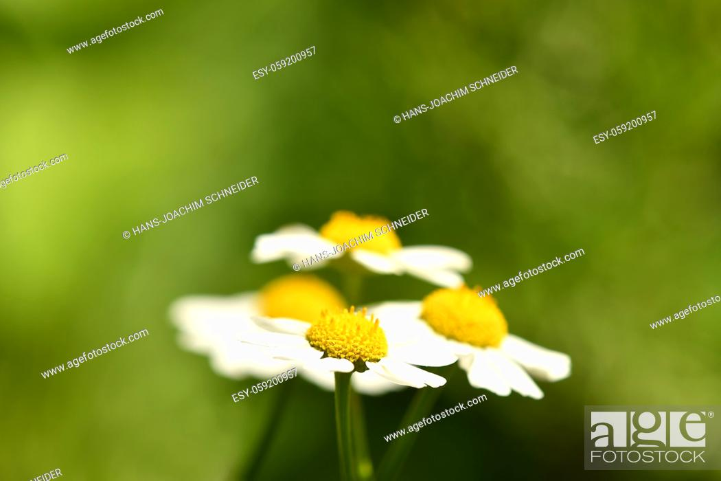 Stock Photo: feverfew, medicinal plant with flower.
