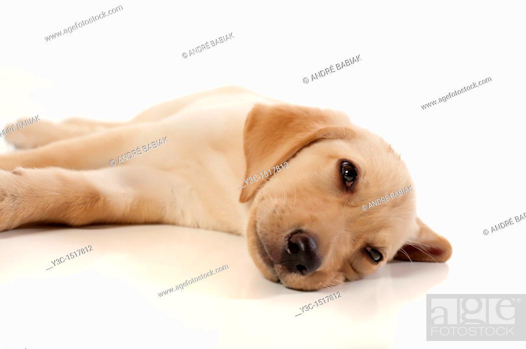 Stock Photo: Labrador Retriever Puppy.