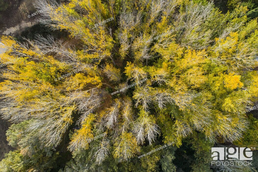 Stock Photo: Autumn forest. Canadian poplars (Populus x canadensis). Almansa. Albacete province. Spain.