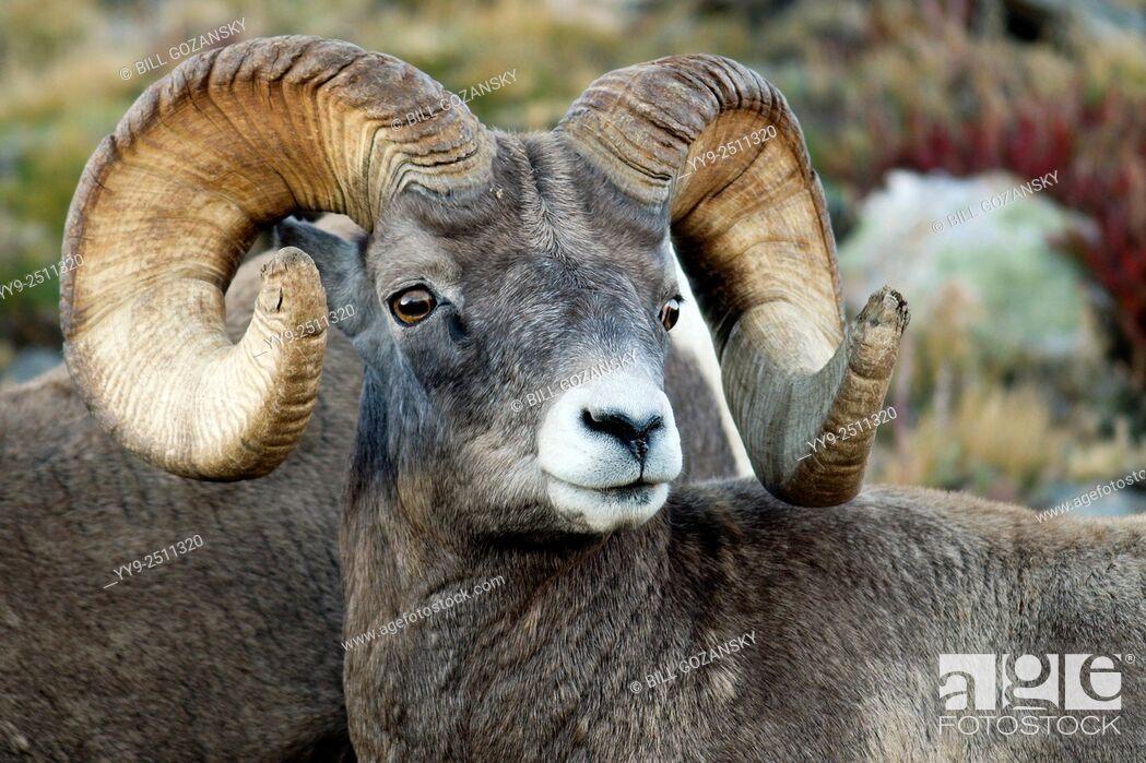 Stock Photo: Rocky Mountain Bighorn Sheep (Ovis canadensis) - Rocky Mountain National Park - near Estes Park, Colorado, USA.