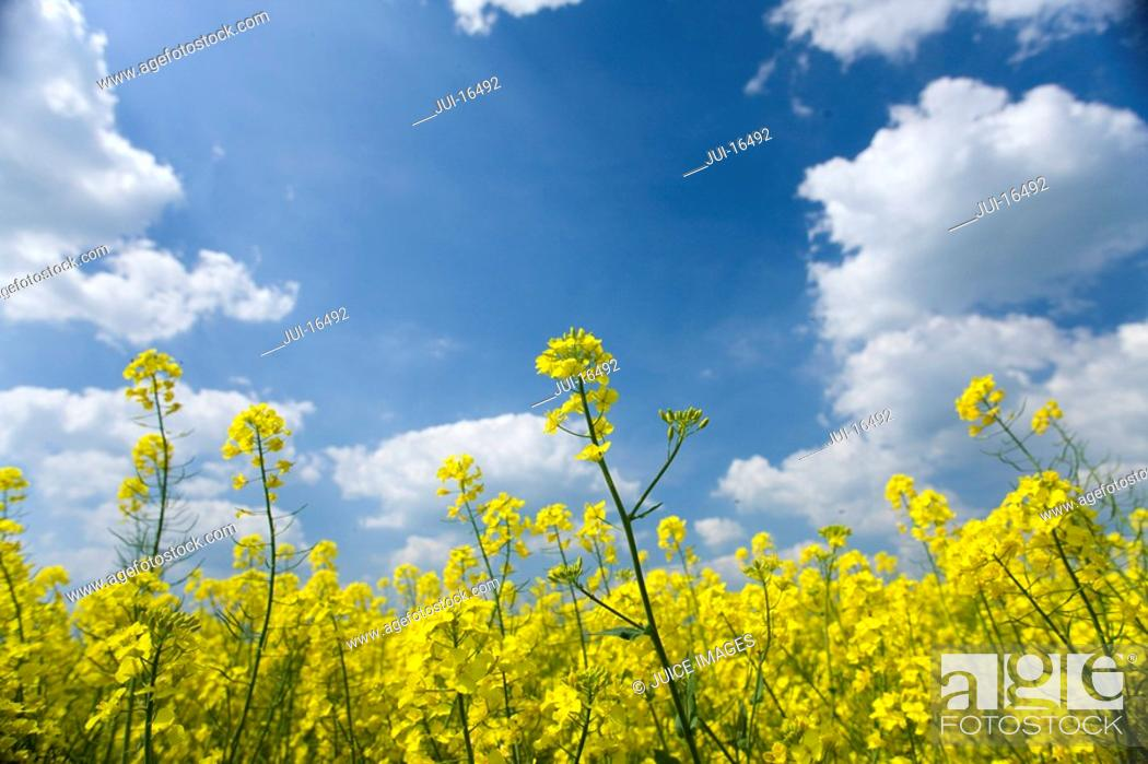 Stock Photo: Close up of canola against cloudy sky.