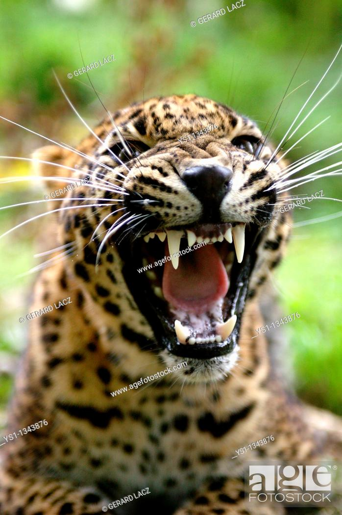 Stock Photo: SRI LANKAN LEOPARD panthera pardus kotiya, PORTRAIT OF ADULT WITH OPEN MOUTH IN THREAT POSTURE.