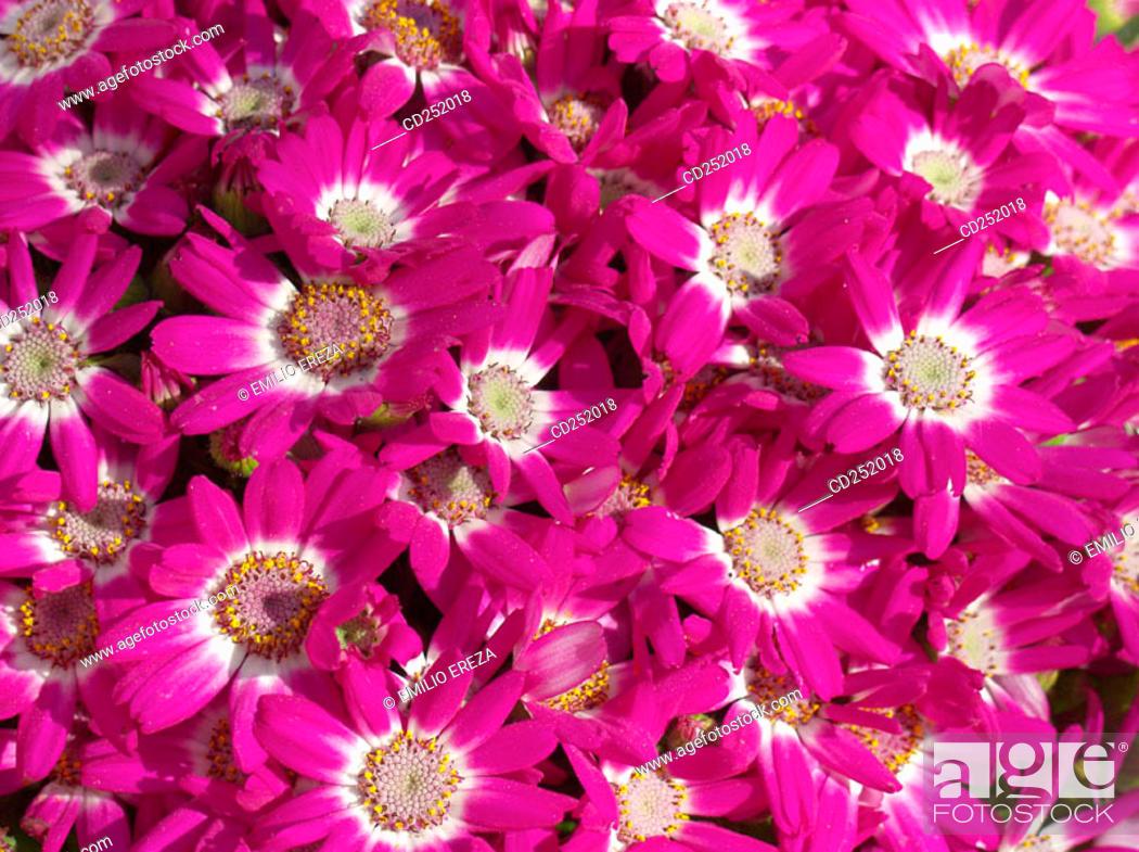 Stock Photo: Cineraria (Cineraria hybr.).