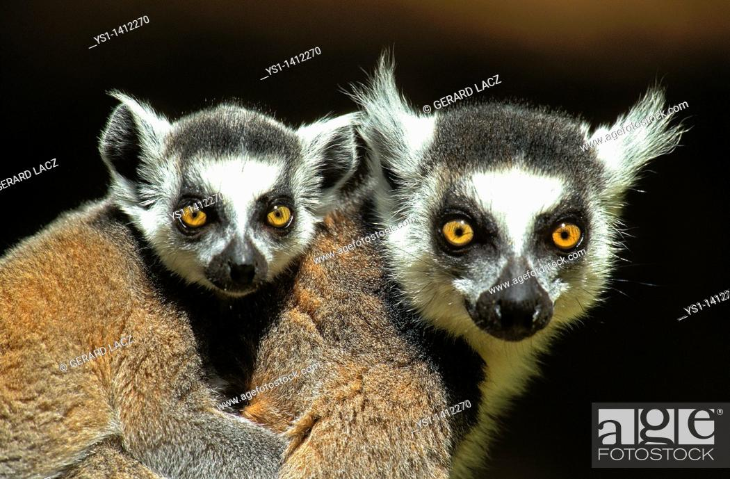 Stock Photo: RING TAILED LEMUR lemur catta, FEMALE CARRYING YOUNG ON ITS BACK, MADAGASCAR.