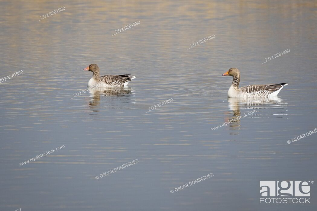 Stock Photo: Greylag Goose (Anser anser) adults on water. Natural Areas of the Llobregat Delta. Barcelona province. Catalonia. Spain.