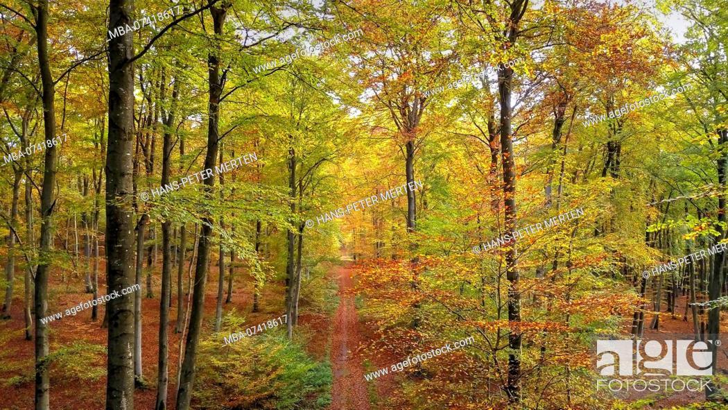 Stock Photo: Beech wood in autumn, Freudenburg, Saar Valley, Rhineland-Palatinate, Germany.