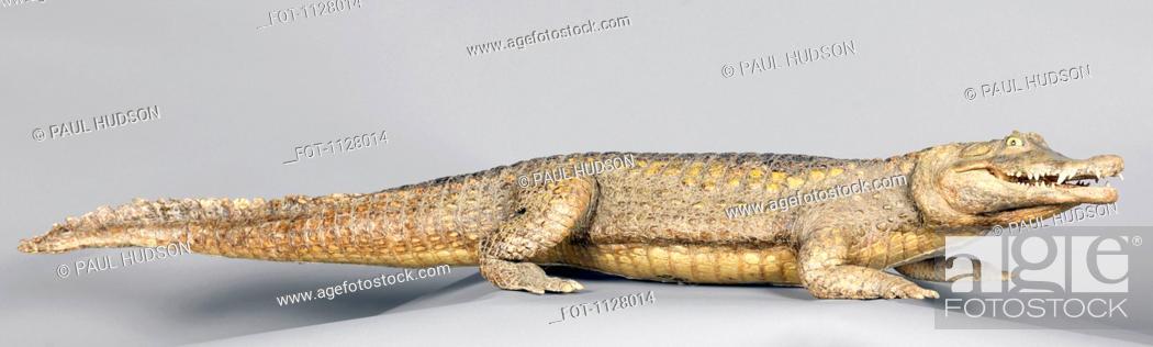 Stock Photo: A stuffed alligator.