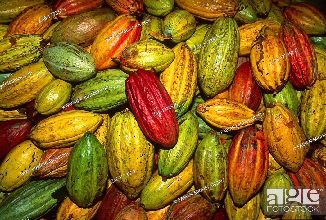 Stock Photo: Cacao fruit pods in plantation in the eastern coast of Venezuela, probably the best cacao in the world.