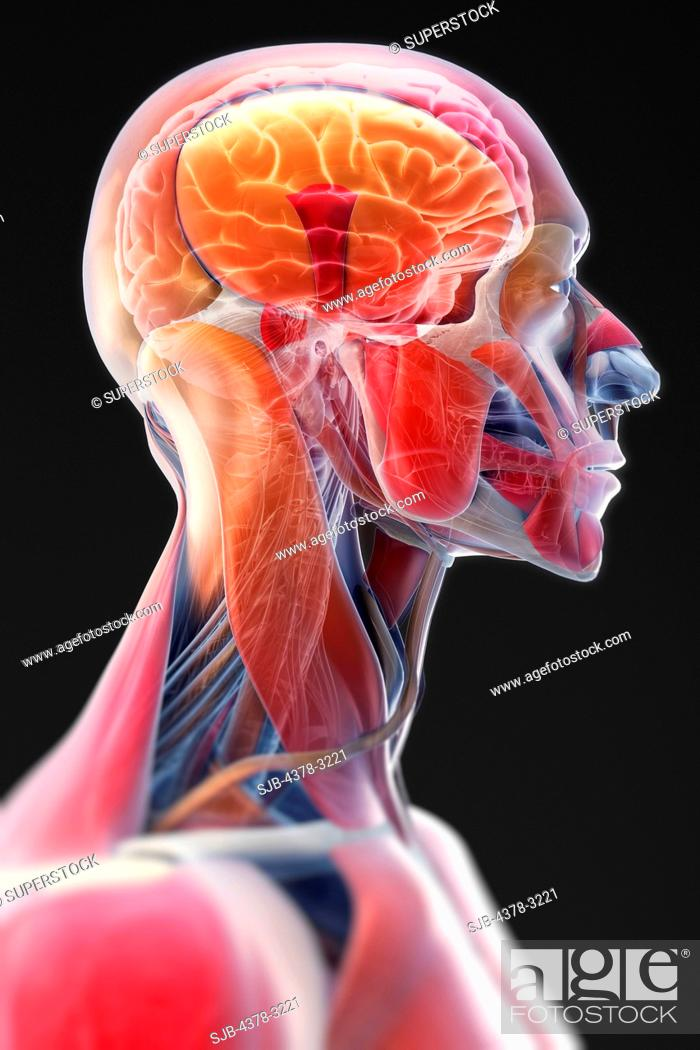 Stock Photo: A stylized side view of the head and neck. The brain is visible within the head.