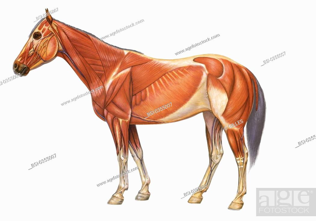 HORSE ANATOMY, DRAWING, Stock Photo, Picture And Rights Managed ...