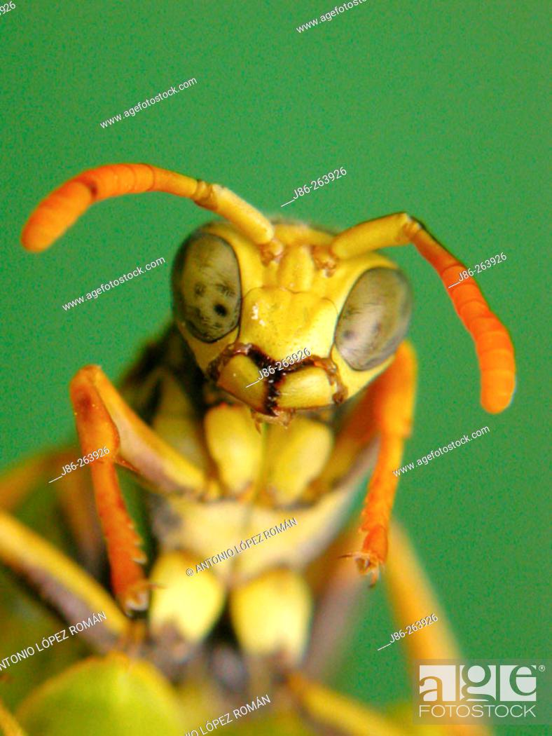 Stock Photo: wasp(Polistes bischoffi).