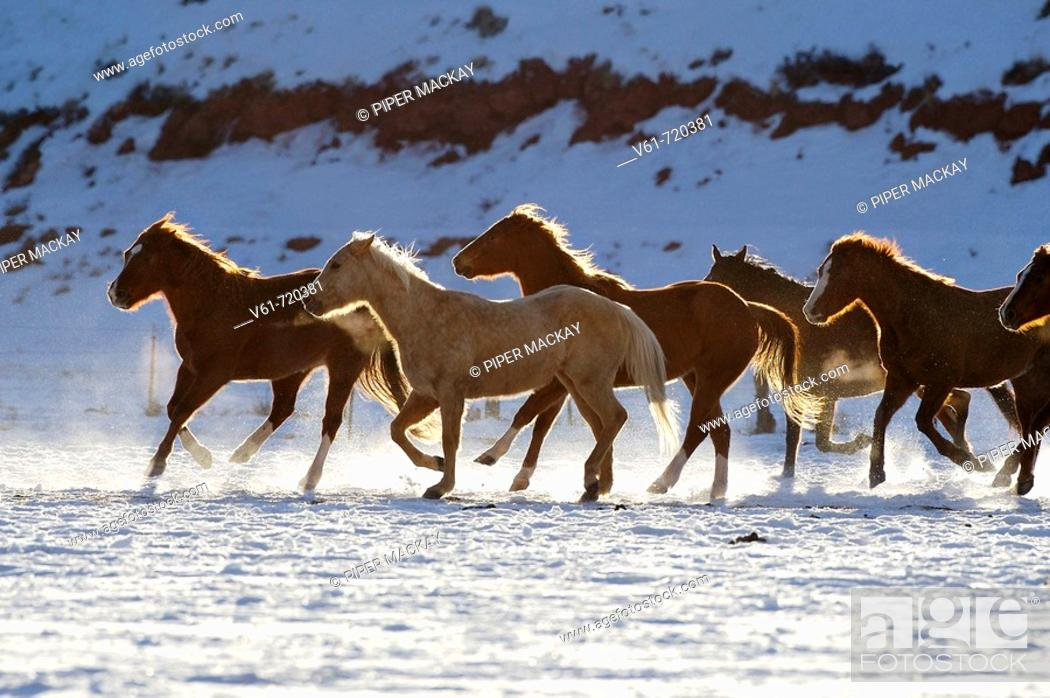 Stock Photo: A herd of horses galloping throug the snowy plains of Shell, Wyoming, Usa.