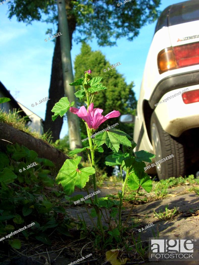 Stock Photo: common mallow, blue mallow, high mallow, high cheeseweed Malva sylvestris, plant bloomin in the gutter, Germany, North Rhine-Westphalia, Ruhr Area, Bochum.