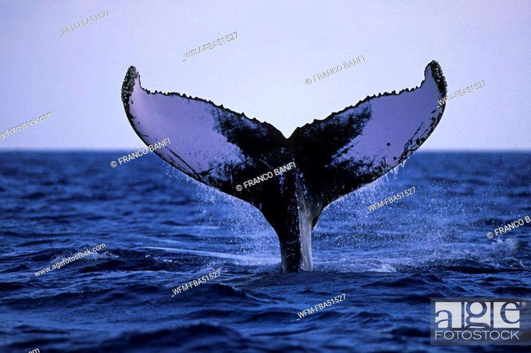 Stock Photo: Fluke of Humpback Whale, Megaptera novaeangliae, Silver Banks, Caribbean Sea, Dominican Republic.