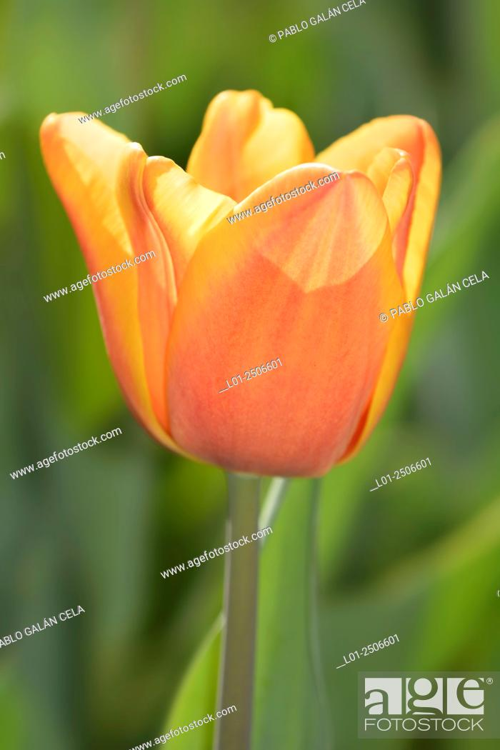 Imagen: Tulipa 'apricot foxx'.