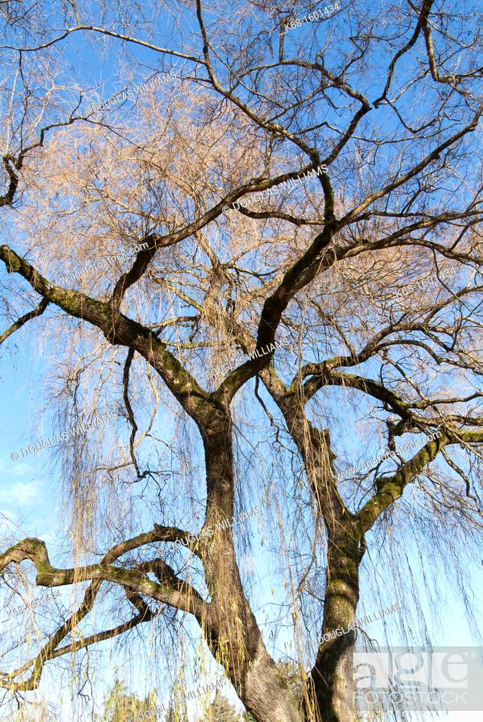 Stock Photo Weeping Willow Tree In Winter