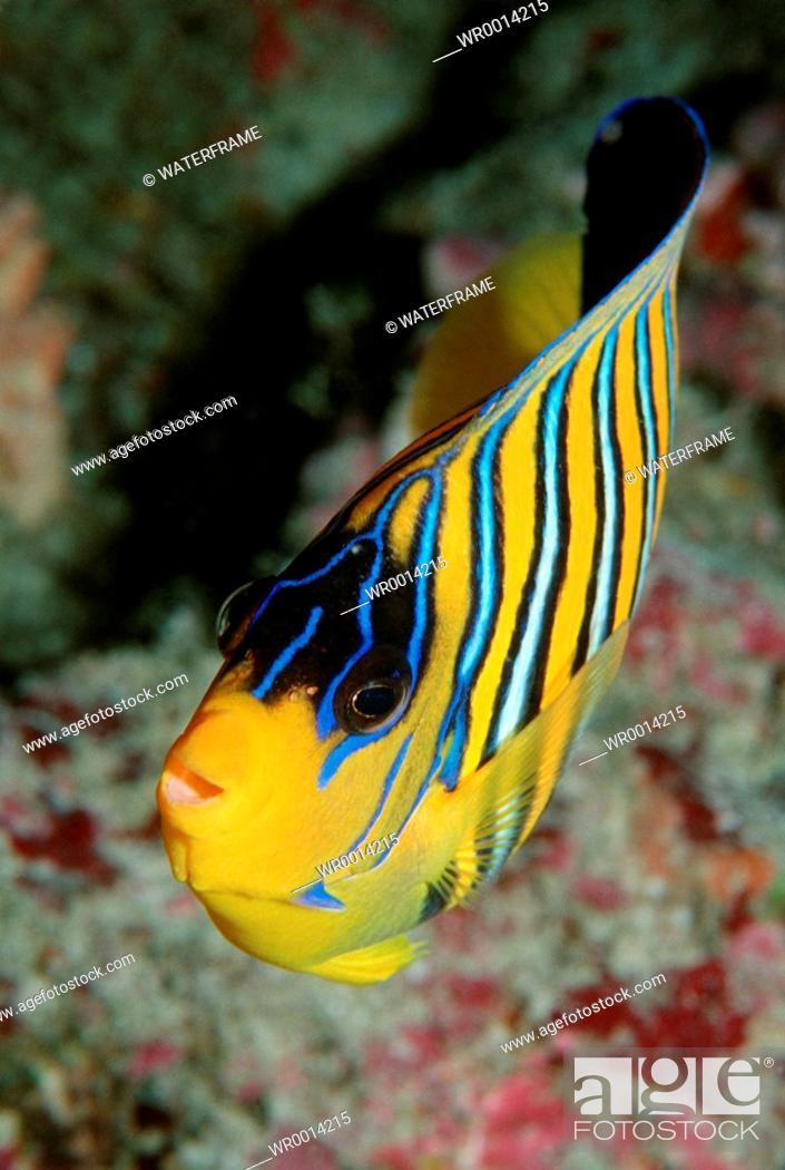 Stock Photo: Regal angelfish, Pygoplites diacanthus, Indian Ocean, Maldives Island.