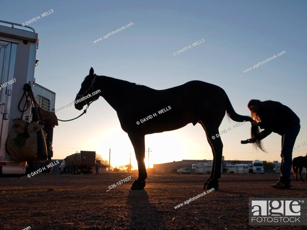 Stock Photo: Rodeo horses at dawn with their owner prepping them at the Tucson Rodeo in Tucson, Arizona, United States.