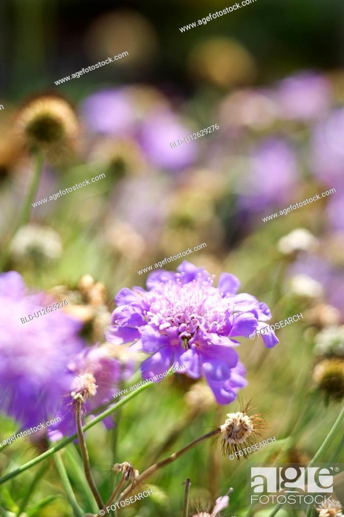 Stock Photo: Purple flowering plant.