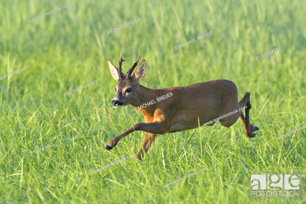 Stock Photo: Western Roe Deer (Capreolus capreolus), Roebuck, Summer, Hesse, Germany, Europe.