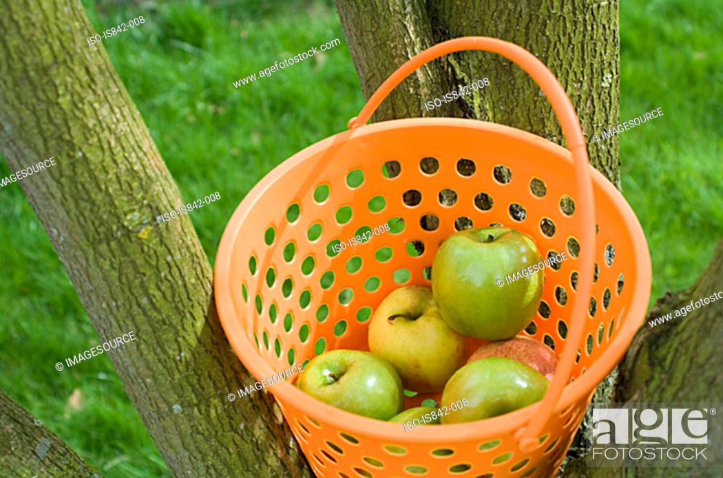 Stock Photo: Basket of apples in a tree.