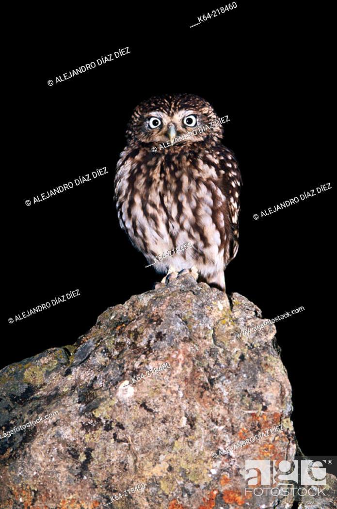Stock Photo: Little Owl (Athene noctua).