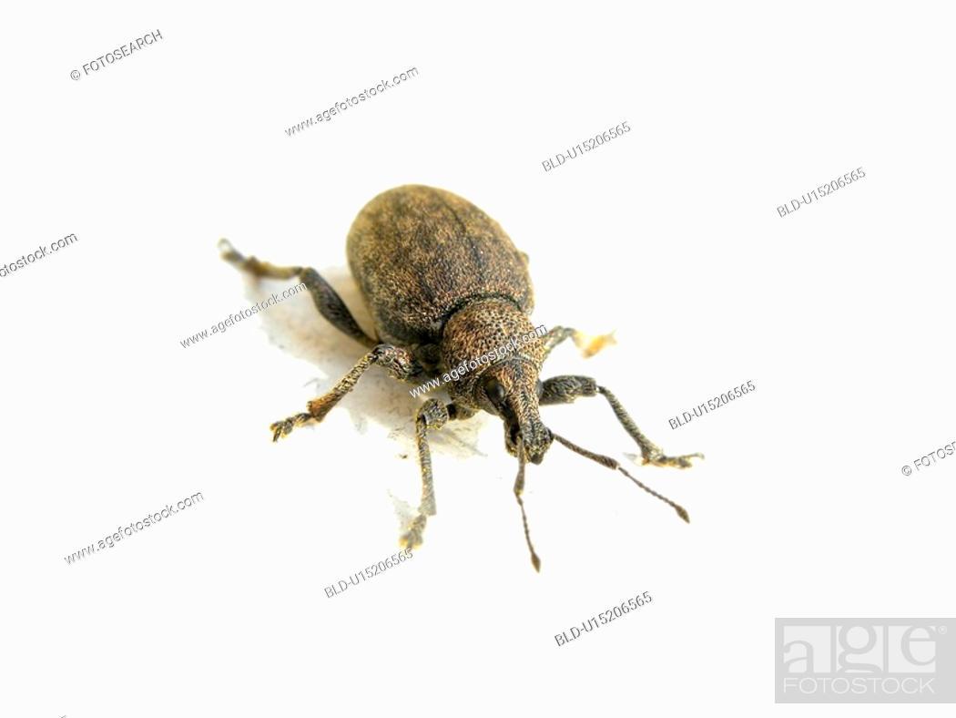 Stock Photo: close-up, animals, CLOSE, beetle, Austria, alfred.
