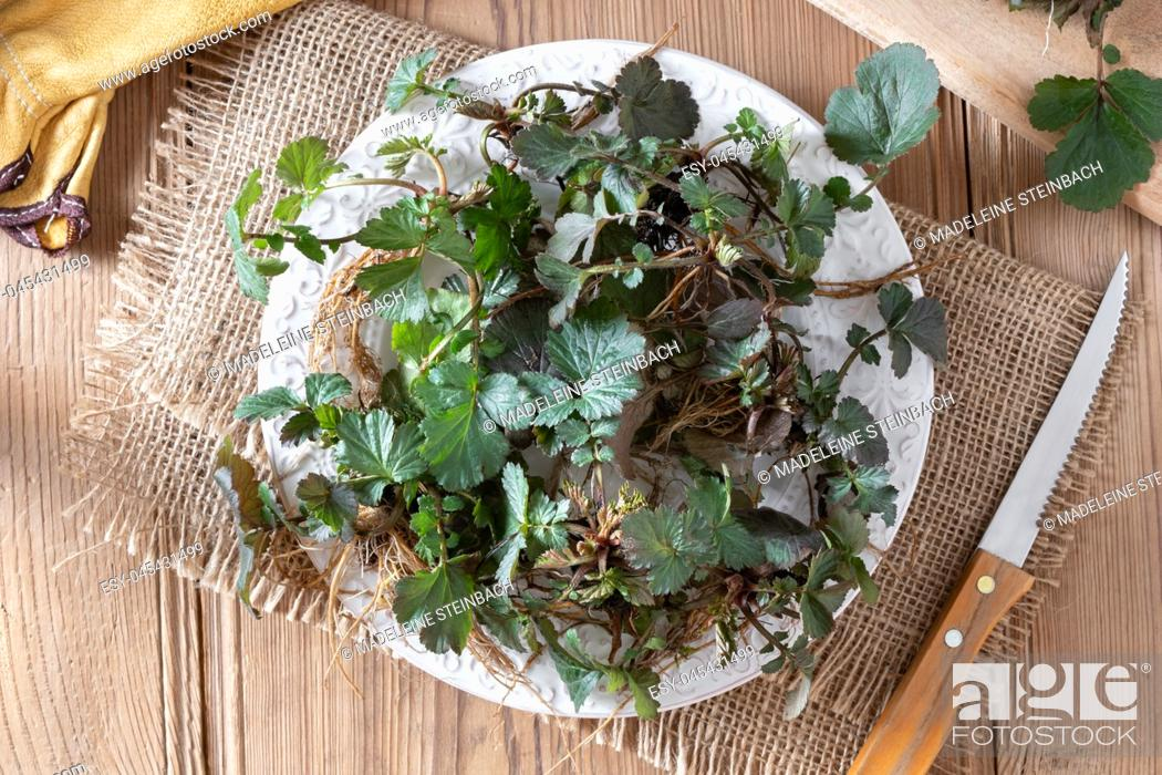 Stock Photo: Young Herb Bennet plants with roots on a plate, top view.