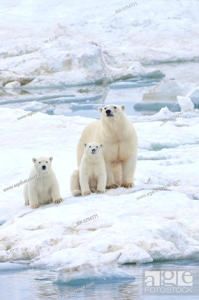 Stock Photo: Polar Bears (Ursus maritimus) walking on an ice floe near Wrangel Island, a UNESCO World Heritage site, sow with cubs, Wrangel Island.