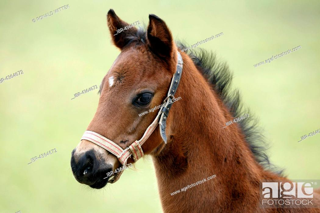 Stock Photo: Thoroughbred horse, racehorse, foal, Baden-Württemberg, Germany.