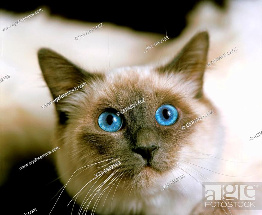 Stock Photo: Birmanese Domestic Cat, Portrait of Adult with Blue Eyes.