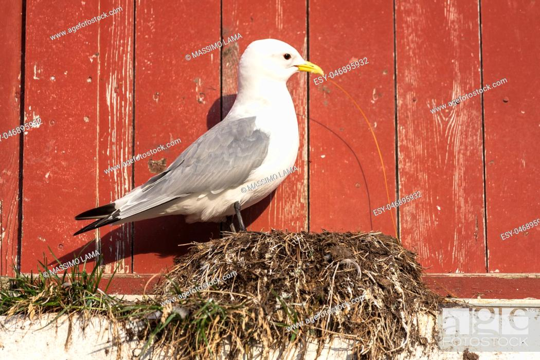 Stock Photo: A gull building a nest on a red backround.