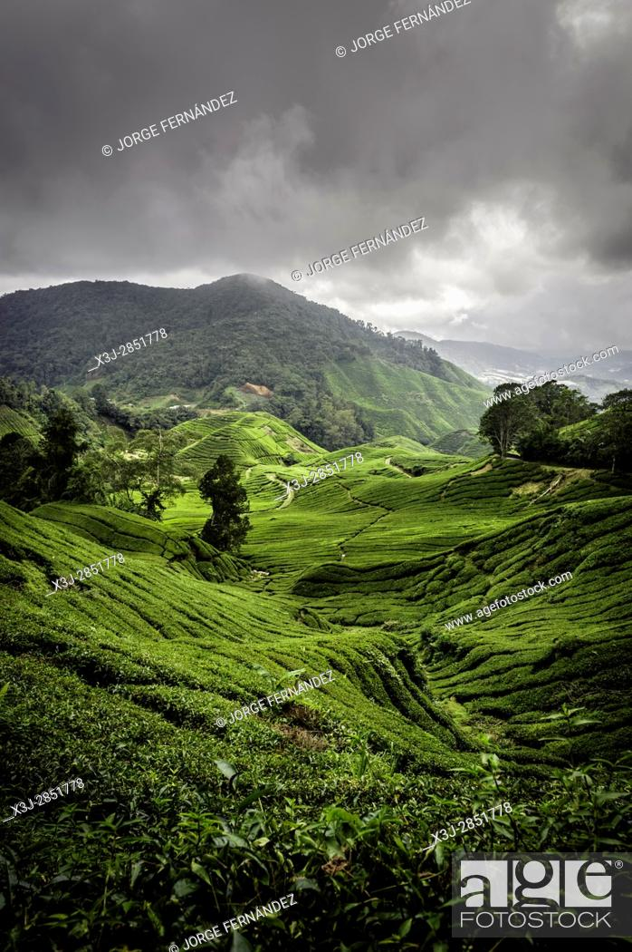 Stock Photo: Landscape of a tea plantation on a cloudy day.