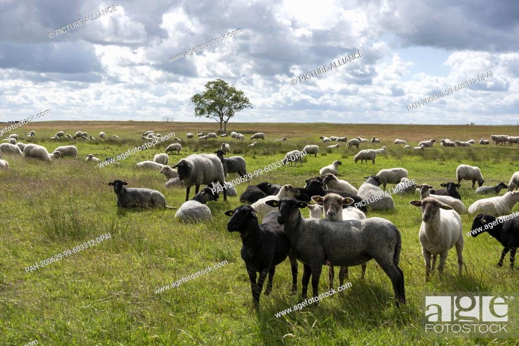 Imagen: 06 June 2020, Mecklenburg-Western Pomerania, Hiddensee: Sheep stand on a meadow near the fishing village Neuendorf. Photo: Stephan Schulz/dpa-Zentralbild/ZB.