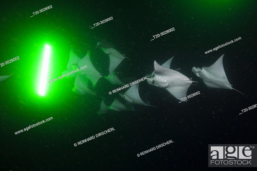 Stock Photo: Munks Devil Ray feeding on plankton at night, Mobula munkiana, La Paz, Baja California Sur, Mexico.