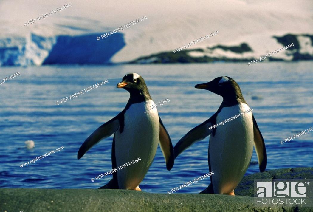 Stock Photo: Two amarous gentoo penguins on the waterfront, Port Lockroy, Antarctic Peninsula, Antarctica.