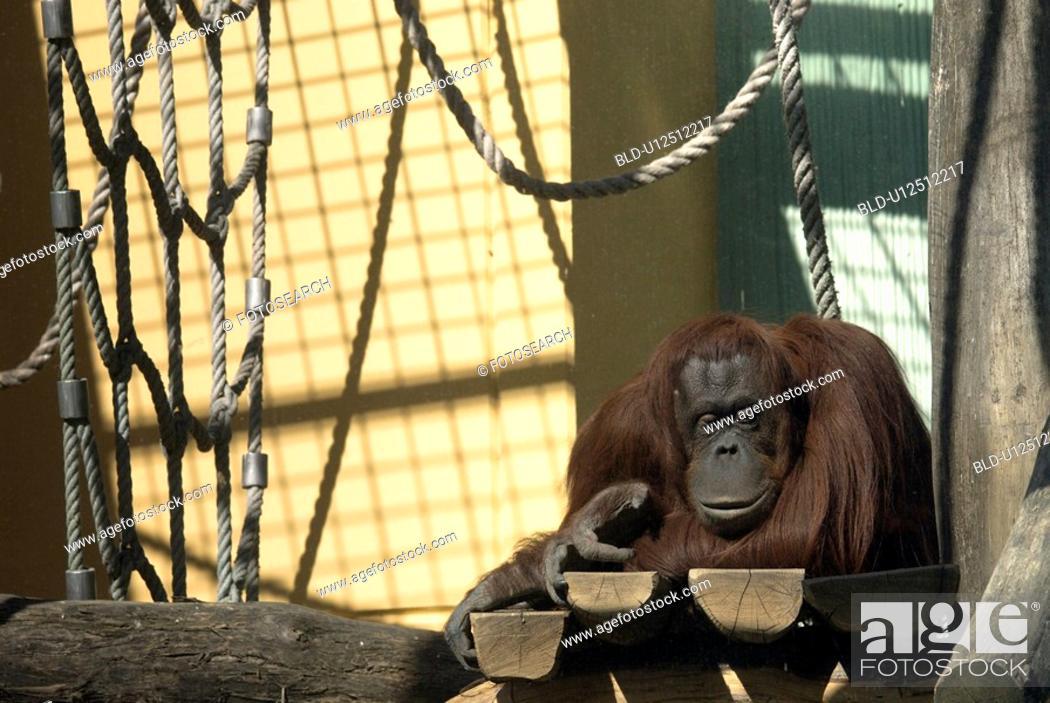 Stock Photo: Orang Utan, Pongo pygmaeus, vivarium, Vienna, zoo, Capitol, schoenbrunn.