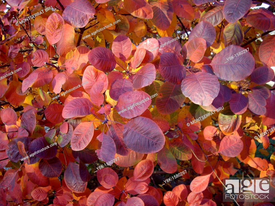 Stock Photo: Pale reddish purple leaves.
