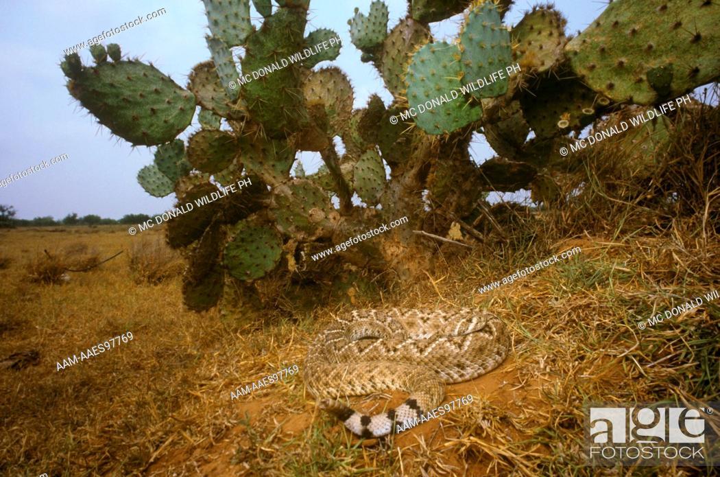 W  Diamondback Rattlesnake (Crotalus atrox), in Cactus