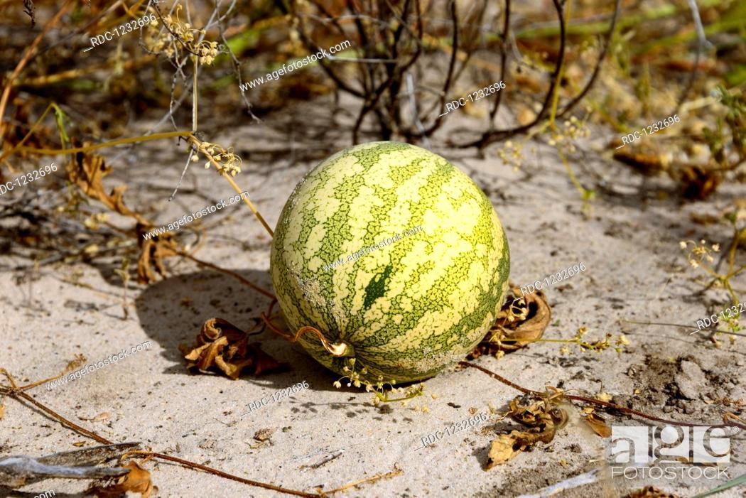 Stock Photo: Tsamma, Central Kalahari Game Reserve, Botswana, (Citrullus lanatus).