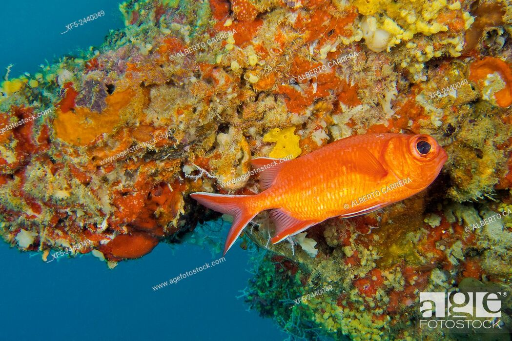 Imagen: Immaculate Soldierfish, Myripristis vittata, South Malé Atoll, Maldives, Indian Ocean, Asia.