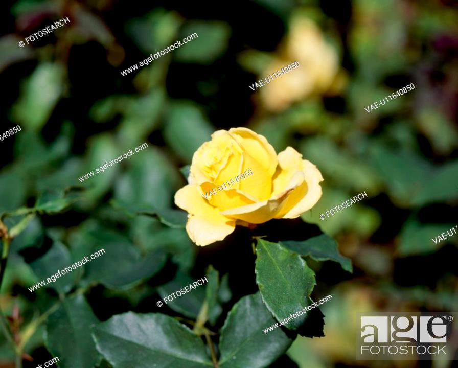 Stock Photo: yellow flowers, nature, flowers, flower, scene, wildflower, landscape.