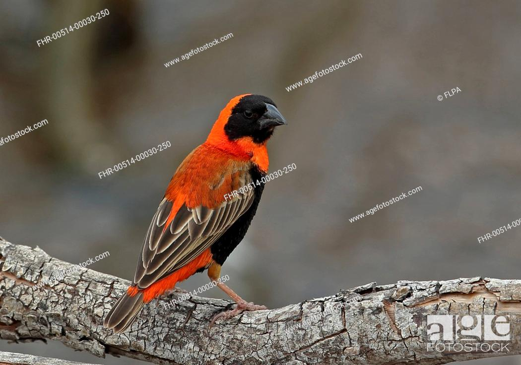 Stock Photo - Southern Red Bishop (Euplectes orix) adult male, perched on  fallen branch, Johannesburg, Gauteng Province, South Africa, November